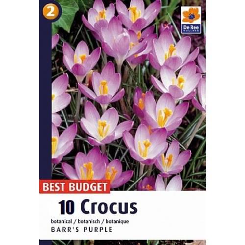Крокус ботанический Barr's Purple