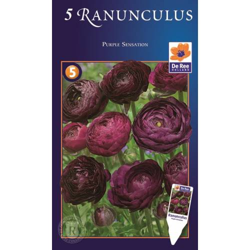 Ранункулюс пурпурный