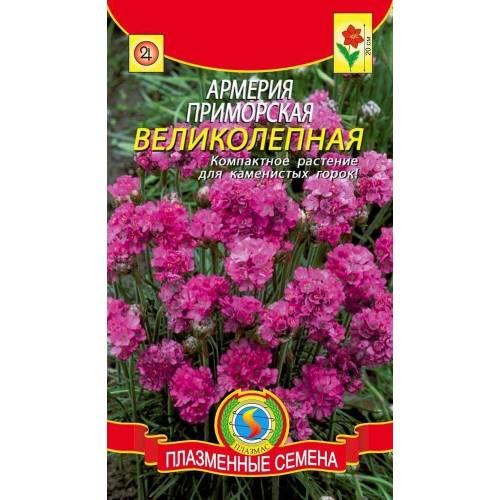 Армерия Приморская великолепная