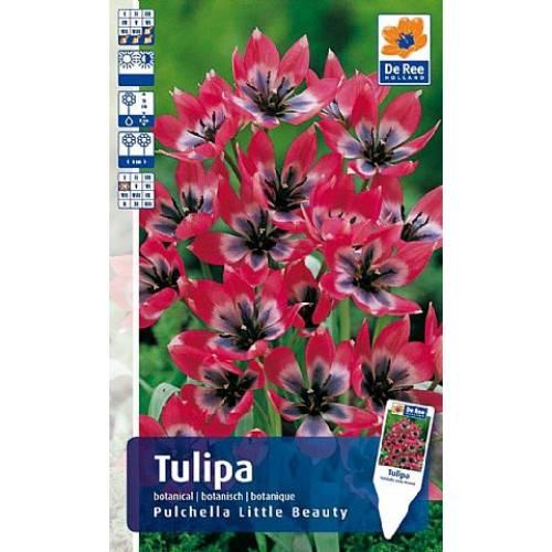Тюльпан Pulchella Little Beauty