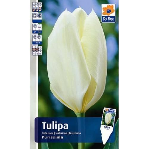 Тюльпан Purissima