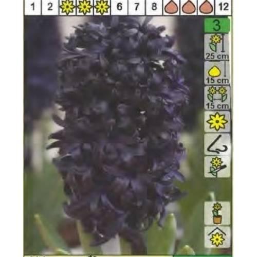 Гиацинт Blue Saphire