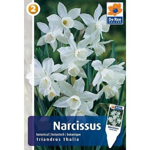 Нарцисс Triandus Thalia